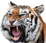 snarling-cat